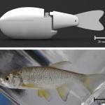 Robotkala õpetab päriskalu ujuma