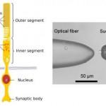 Silma võrkkestas asuvad rakud suudavad tuvastada footonite numbrilise jaotuse